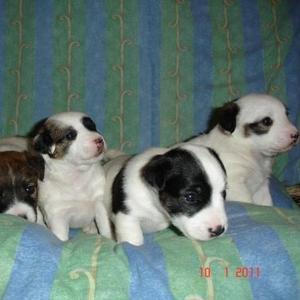 Продаются  щенки Джек Рассел терьера.