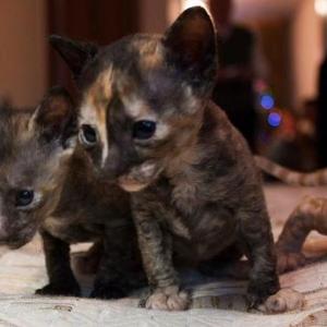 Продаются котята породы корниш рекс.