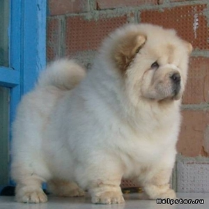 Куплю щенка Чау-чау. Возможно приму взрослого в дар.
