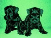 Предлагаем щенков породы цвергшнауцер