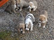 Продаются щенки среднеазиатской овчарки (Алабай)